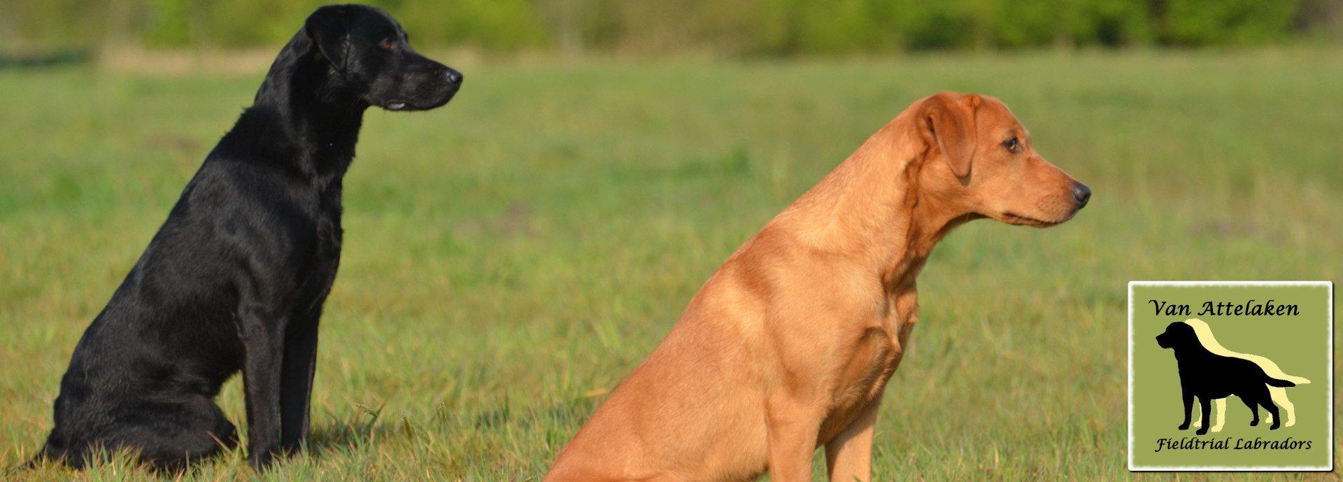 Van Attelaken Fieldtrial Labradors